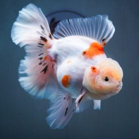 Rose Tail Thai Oranda